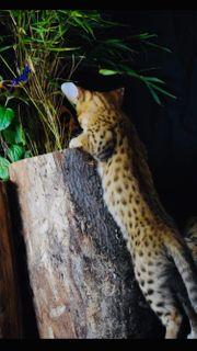 Savannah F3 Savannahkitten Kitten Stammbaum