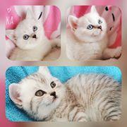 Brittisch Kurzhaar Kitten