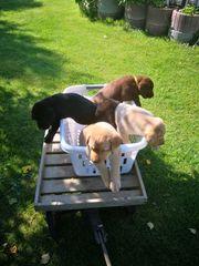 Labradorwelpen in Schoko u blond