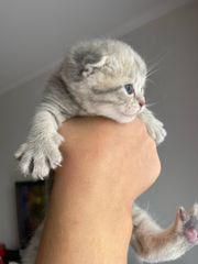 BKH Kitten Silver shaded Silver