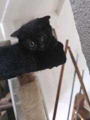 Scottish Fold MIX Kitten suchen