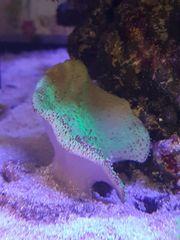 Pilzlederkoralle grün Koralle