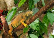 Grünen Leguan Iguana Iguana