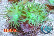 Axifuga - Bartkoralle - Meerwasser korallen Ableger