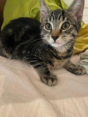 Seltene Savannah Katze zu verkaufen