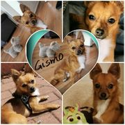 Erfahrener Chihuahua Deckrüde