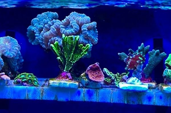Korallen Ableger für Meerwasser Aquarium