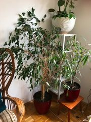 Birkenfeige Ficus Benjamini ca 1