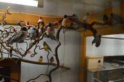 Prachtfinken Gouldamadinen blau Ringelastrild