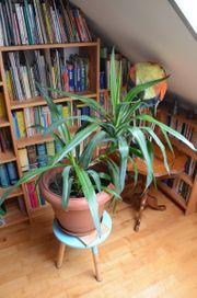Yucca Palme 90 cm