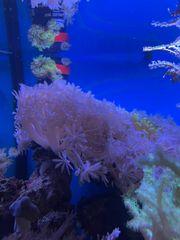 Meerwasser Korallen Anemonen Zoas Zoanthus