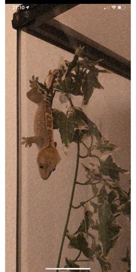 Reptilien, Terraristik - Kronengecko