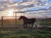 Curly Horse Traum zu verkaufen