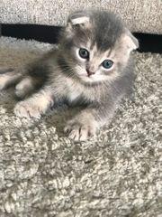 BKH SCF Kitten