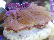 Meerwasser Affenhaar Koralle rosa