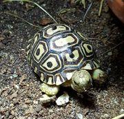 Pantherschildkröten NZ21