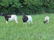 3 Dorper Schafe Auen verlieren