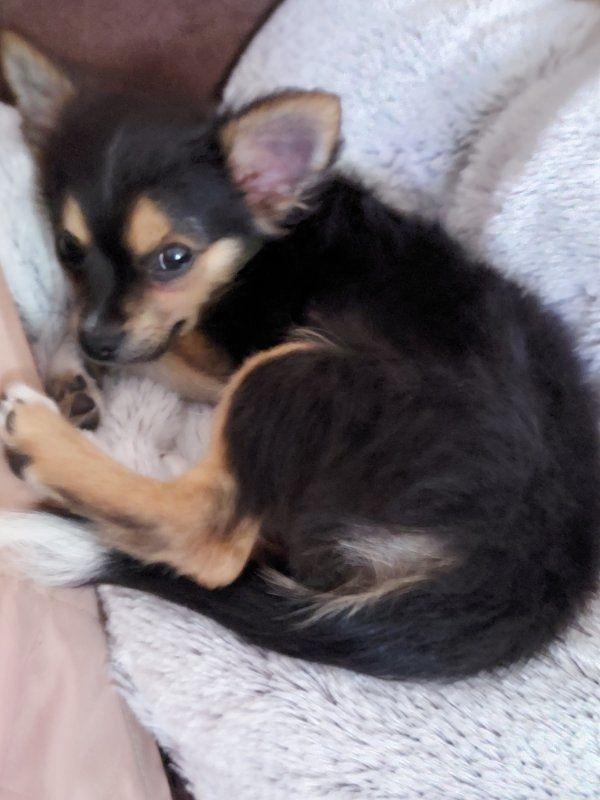 4 Monate alter Chihuahua Rüde in Langhaar