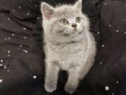 BKH BLK Kitten