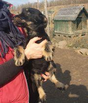 Arthur 7 Monate alter Jagdterrier
