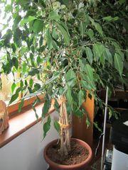 Zimmerpflanze Prächtig gewachsener gesunder Ficus