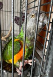 Mohrenkopf Papagei