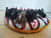 Super süße Degu Babys-schwarz-agouti-Schecken suchen