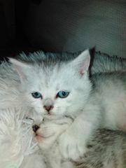 Traumhaft schöne BKH Kitten