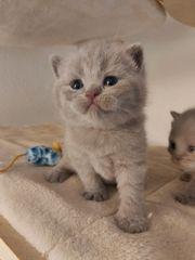 BKH 3 Kitten in Lilac