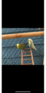 Wellensittich Vögel weiblich männlich mit
