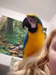 Gelbbrust Ara Papagei Weiblich 2