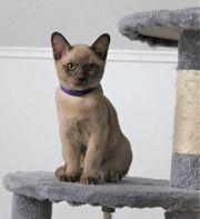 Reinrassige Burma Kitten