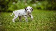 Wir suchen einen Dalmatiner Welpen