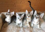 Savannah Kitten reinrassig F6sbt