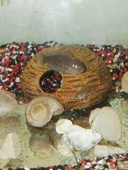 Schneckenbuntbarsche Art Unbekannt mit Aquarium