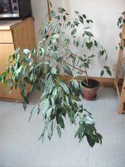 Verschenke einen Ficus benjamini