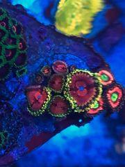 Zoanthus Fake chilli koralle meerwasser