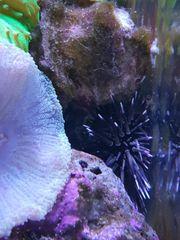 Meerwasser Seeigel