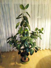 Gummibaum - Ficus elastica Robusta