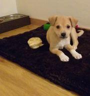 Dackel- Beagle Mix Welpe
