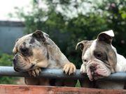 Old englisch Bulldogge Welpen