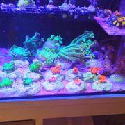 Korallen Ableger Meerwasser zoas SPS