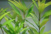 Kirschblatt Hornfarn Nadelsimse Mooskugeln Moosbäume