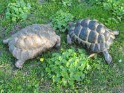 Maurische Landschildkröte vermisst