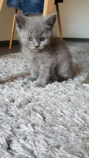 bkh kitten Katzenbabys katzen