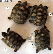 Breitrandschildkröte NZ 2020 Schildkröte