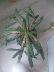 Kaktus Nur Abholung kein Versand