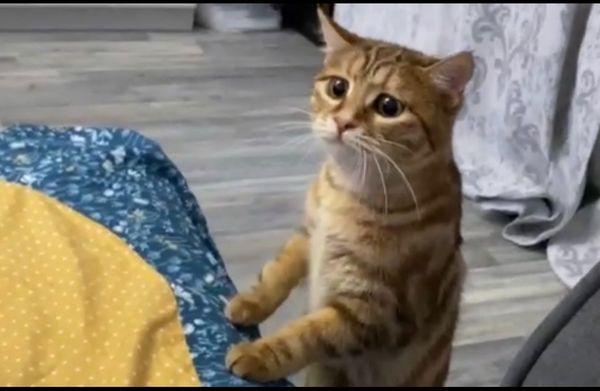 Kurilen Kurilian Bobtail Katze Mini-