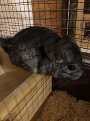 Chinchilla Bub