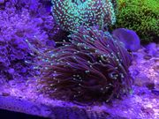 Meerwasser Korallen SPS LPS Weichkorallen
